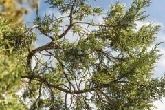 Mazzo di bacche di ginepro su un ramo verde in autunno immagine stock