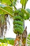 Mazzo di banana Fotografia Stock Libera da Diritti