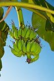 Mazzo di banane Fotografie Stock