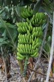 Mazzo di banane color giallo canarino Agricoltura tradizionale a Barlovento ( Fotografia Stock