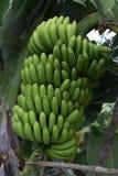 Mazzo di banane color giallo canarino Agricoltura tradizionale a Barlovento ( Immagini Stock Libere da Diritti