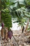 Mazzo di banane color giallo canarino Agricoltura tradizionale a Barlovento ( Immagine Stock