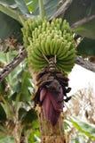 Mazzo di banane color giallo canarino L'agricoltura tradizionale nel los Sauces ( Fotografia Stock Libera da Diritti