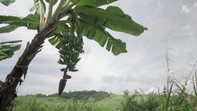Mazzo di banane, di fiore e di foglie verdi in cielo caraibico archivi video