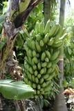 Mazzo di banane non mature su una pianta Immagini Stock Libere da Diritti