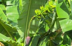 Mazzo di banane verdi che crescono nei tropici Immagini Stock Libere da Diritti