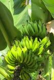 Mazzo di banane verdi che crescono nei tropici Fotografie Stock