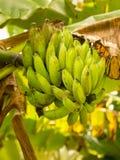 Mazzo di banane verdi sull'albero da sotto Fotografie Stock Libere da Diritti