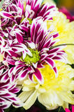 Mazzo di bei crisantemi variopinti Immagine Stock