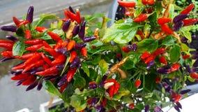 Mazzo di candlefire rovente del peperoncino nel giardino fotografia stock libera da diritti