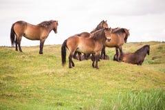 Mazzo di cavalli selvaggii che stanno su una collina sull'isola olandese di texel fotografie stock libere da diritti