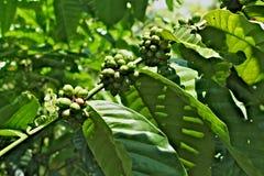 Mazzo di chicco di caffè sull'albero Fotografia Stock