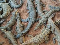 Mazzo di coccodrilli pericolosi Immagini Stock