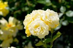 Mazzo di colore chiaro della rosa rampicante immagini stock
