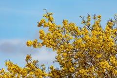 Mazzo di crescita di fiori gialla su un albero grande Fotografia Stock Libera da Diritti