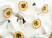 Mazzo di daffodils della sorgente Immagini Stock