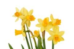 Mazzo di daffodils isolati Fotografia Stock Libera da Diritti