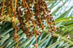 Mazzo di date gialle sulla palma Fotografia Stock