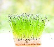Mazzo di erba cipollina di aglio Fotografie Stock