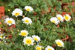 Mazzo di fiore bianco in giardino con le api Fotografia Stock Libera da Diritti