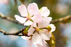 Mazzo di fiori della ciliegia dell'inchiostro Fotografia Stock