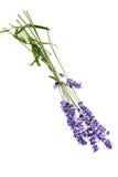 Mazzo di fiori della lavanda su fondo bianco Fotografia Stock