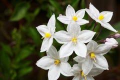 Mazzo di fiori della vite di patata Immagini Stock Libere da Diritti