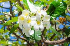 Mazzo di fiori gialli bianchi sull'albero alle Maldive Fotografie Stock
