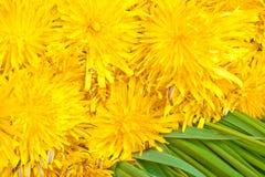 Mazzo di fiori gialli del dente di leone fotografia stock libera da diritti