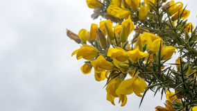 Mazzo di fiori gialli sul cespuglio del ginestrone Immagine Stock Libera da Diritti