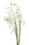 Mazzo di fiori isolati del mughetto fotografia stock