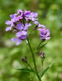 Mazzo di fiori porpora del razzo del ` s di Dame Fotografie Stock