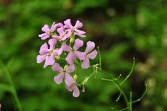 Mazzo di fiori rosa del razzo del ` s di Dame Fotografie Stock