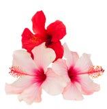 Mazzo di fiori rossi e rosa dell'ibisco Fotografie Stock Libere da Diritti