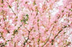 Mazzo di fioritura dei fiori del crabapple di Corridoio immagine stock