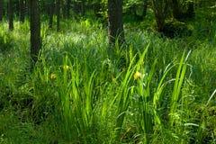 Mazzo di fioritura della bandierina di acqua gialla Fotografia Stock Libera da Diritti