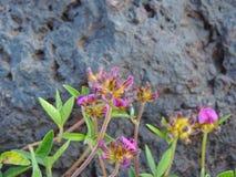 Mazzo di Flemingia gracilis Fotografie Stock