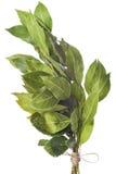 Mazzo di foglie dell'alloro isolate su fondo bianco Fotografie Stock Libere da Diritti