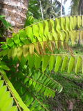 Mazzo di foglie di bilimbi Fotografie Stock Libere da Diritti