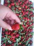 Mazzo di fragola dolce rossa nell'azienda agricola Baguio, Filippine della fragola immagine stock libera da diritti