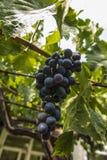 Mazzo di frutta scura dell'uva Immagini Stock