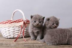 Mazzo di gattini in un canestro Immagini Stock Libere da Diritti