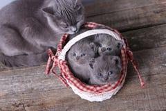 Mazzo di gattini in un canestro, gatto della madre con loro Fotografia Stock