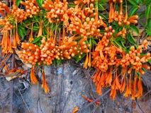 Mazzo di honeysucckle arancio Immagini Stock Libere da Diritti