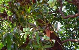 Mazzo di indiano Alphonso Mangoes sull'albero di mango - Mangifera indica Fotografie Stock