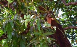 Mazzo di indiano Alphonso Mangoes sull'albero di mango - Mangifera indica Immagine Stock