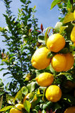 Mazzo di limoni maturi Fotografia Stock Libera da Diritti