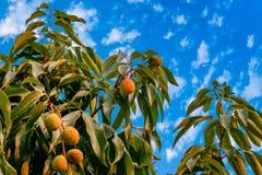Mazzo di litchi fresco che appende sull'albero con le foglie immagini stock