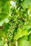 Mazzo di maturazione dell'uva di Blauer Portugeiser Fotografia Stock