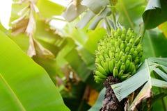 Mazzo di maturazione delle banane di Cuba verdi su un banano Fotografie Stock